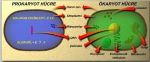 Hucre-ozellesmesinin-canliya-kazandirdigi-ozellikler-82-0