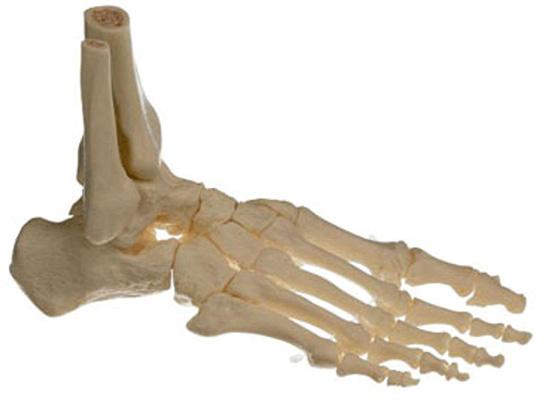 kemik ile ilgili görsel sonucu