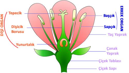 çiçeğin bölümleri ile ilgili görsel sonucu
