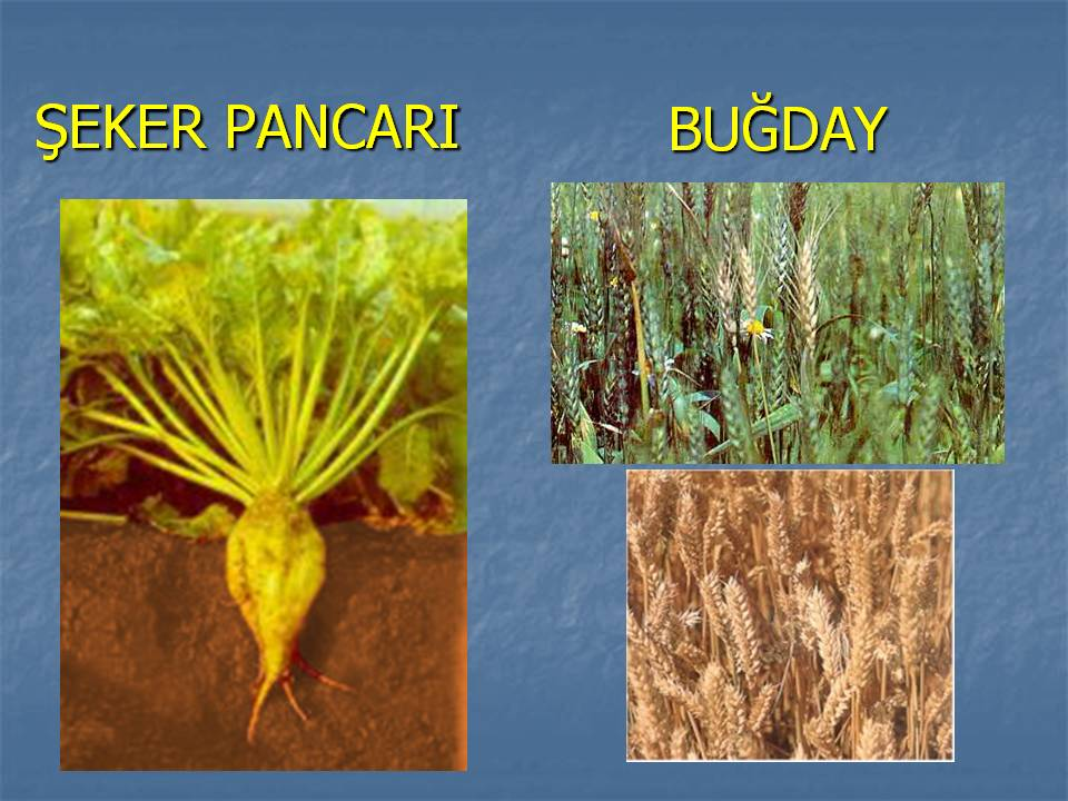 iç anadolu bölgesinde yetişen tarım ürünleri ile ilgili görsel sonucu
