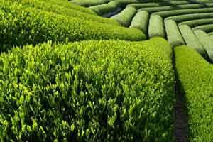 Karadeniz Bölgesi'nde Yetişen Tarım Ürünleri ile ilgili görsel sonucu