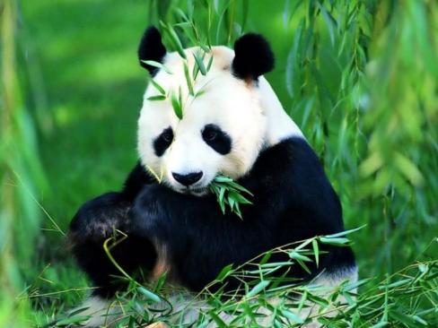 Nesli Tükenmekte Olan Hayvanlar Nelerdir Örnekler ile ilgili görsel sonucu