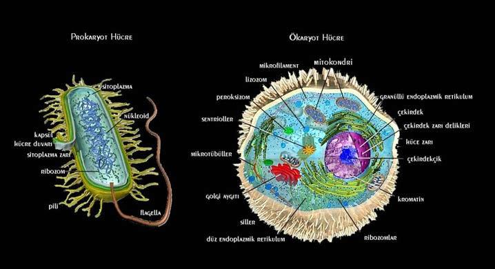 Ökaryot Hücre Nedir Kısaca Örnek ile ilgili görsel sonucu