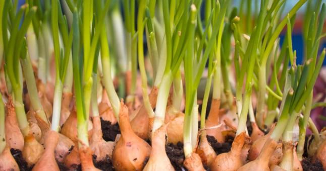 soğan en çok hangi bölgede yetişir ile ilgili görsel sonucu